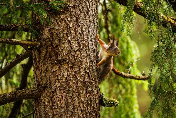 Neugieriges Eichhörnchen, Karwendel / Deutschland (Bildnummer 759950)