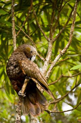 Kaka, ein seltener Verwandter des Kea / Neuseeland (Bildnummer 8665)