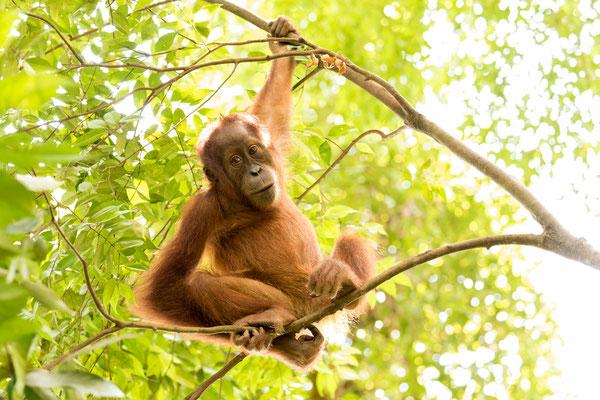 Junger Orang Utan im Dschungel / Indonesien (Bildnummer 4339-2)