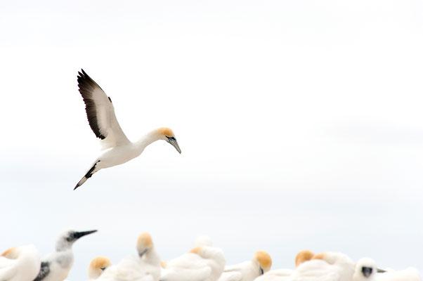 Auffliegender Basstölpel / Neuseeland (Bildnummer 9061)