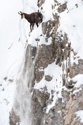 Kletterkünste einer Gämse am Berg / Deutschland (Bildnummer 757180)
