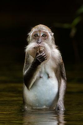 Makake beim Baden / Indonesien (Bildnummer )