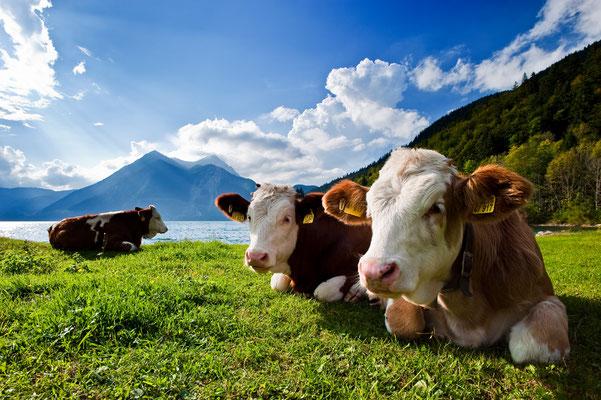 Kühe am Walchensee im Gegenlicht / Deutschland (Bildnummer )
