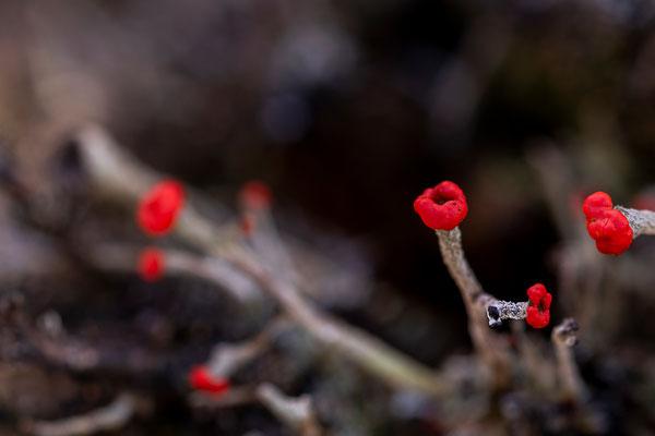 Leuchtende Becherflechten Fruchtkörper