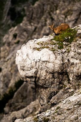 Junger Steinbock schaut sich das gemütlich von oben an