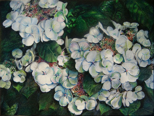 'Hortensia', coloured pencil on paper,