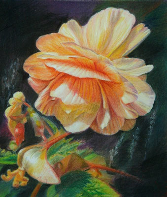 'Begonia', coloured pencil on papaer,