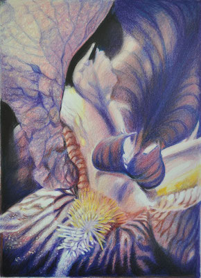 'Iris'; coloured pencil on paper,