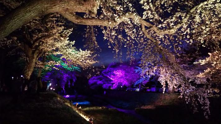 観音寺川 桜 夜