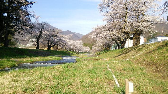 観音寺川 桜 昼