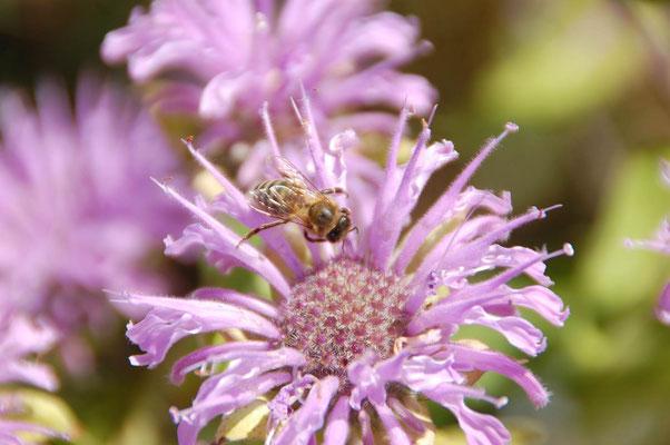 Oswegokraut ist eine wichtige Bienenweidepflanze