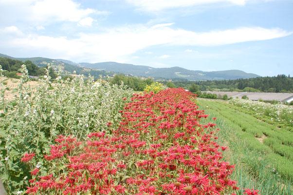 oststeirische Blütenpracht bis zum Horizont