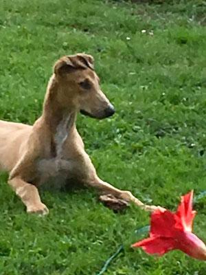 Klein Tulip also klein Tulpe
