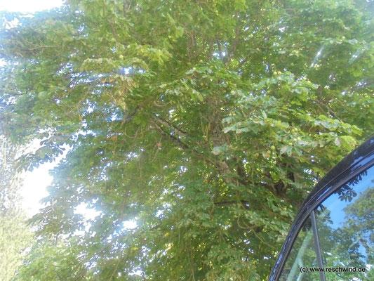 Ein wahrlich königlicher Baum, der uns reichlich Schatten spendete