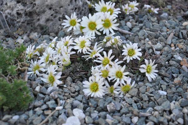 Calliathemum anemonoides