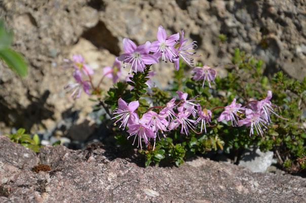 Rhododammnus chamaecistus Zwergalpenrose