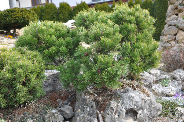 Pinus mugo mughus Alpenstar