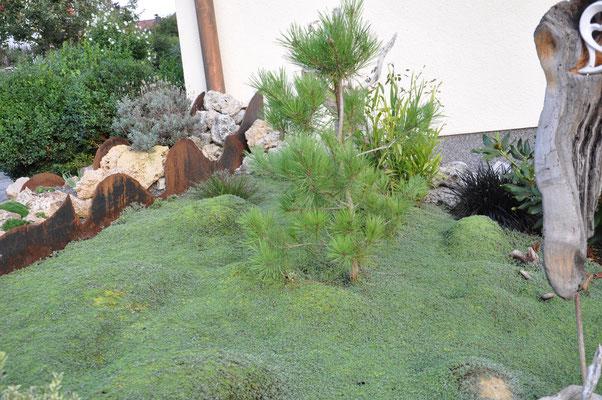 Raoulia lutescens als Bodendecker