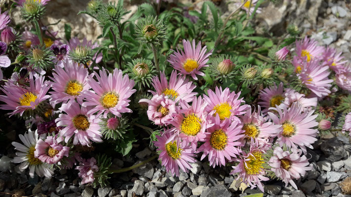 Aster coloradensis