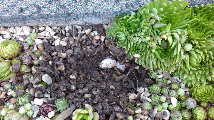 Eier von Emys orbicularis Europäische-Sumpfschildkröte