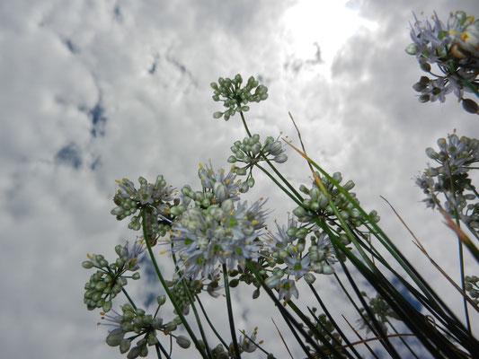 Allium  cyaneum enzianlauch