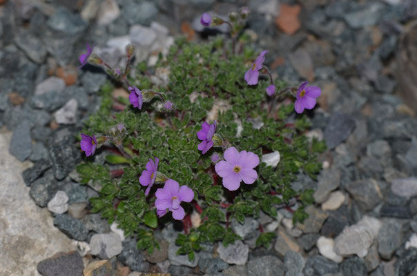 Androsace marpensis