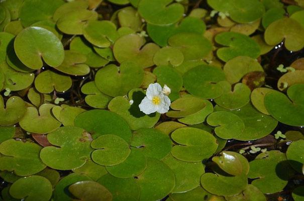 Hydrocharis morsus-ranae Froschbiss