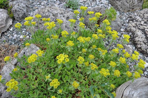 Eriogonum racemosum