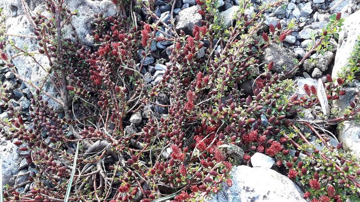 Salix hylematica