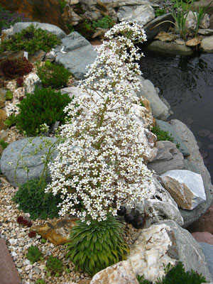 Saxifraga longfolia