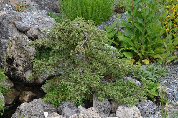 Juniperus com Green carpet Form