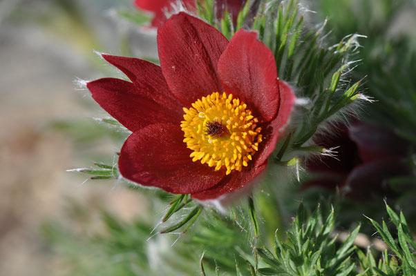 Pulsatilla vulgaris rubin