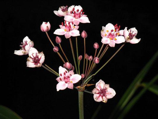 Butomus  umbelattus Blumenbinse