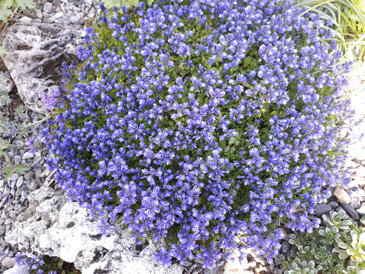 Polygala alpestris Voralpen-Kreuzblume