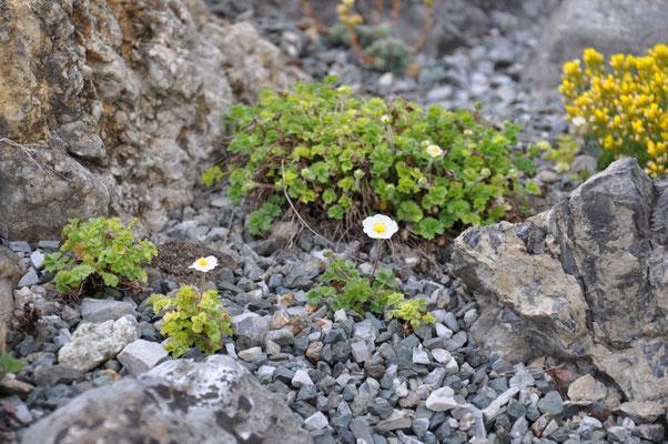 Potentilla rupestris var. pygmaea