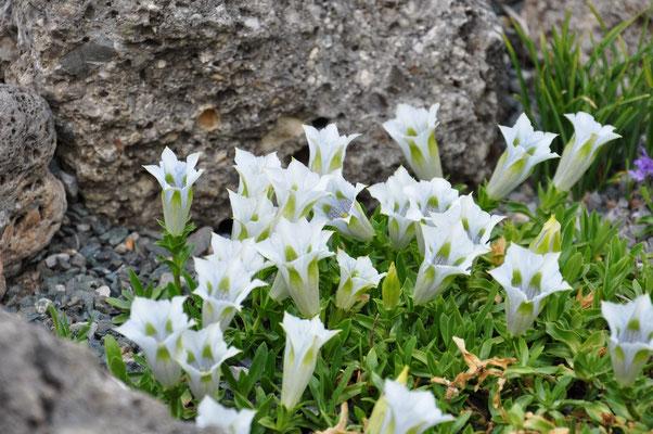Gentiana angustifolia alba