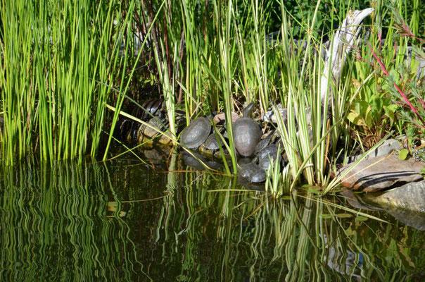 Emys orbicularis Europäische-Sumpfschildkröte