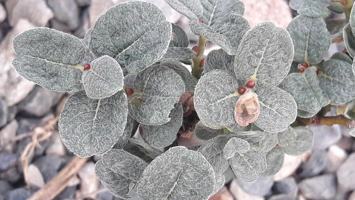Salix boydii - Schottische Zwergweide