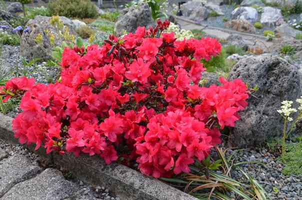 Rhododendron optusum maruschka