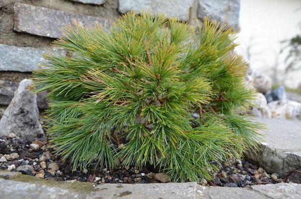 Pinus  strobus minima Weymuth-kiefer