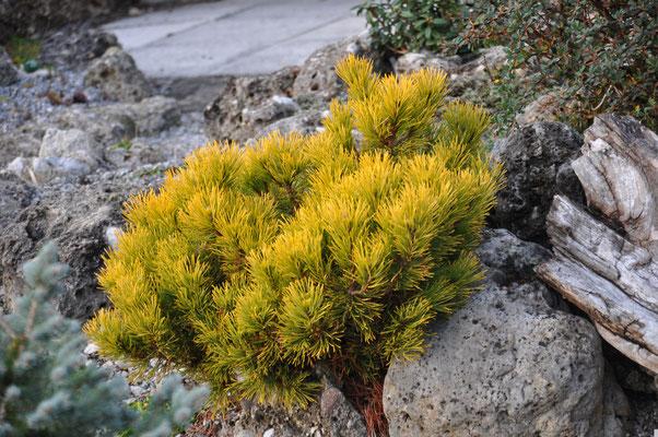Pinus carstens Wintergold
