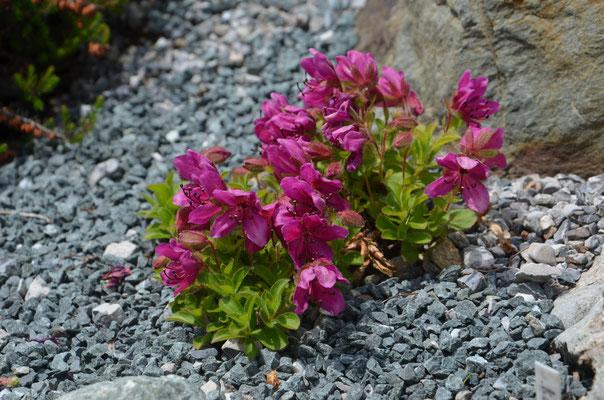 Rhododendron Camtchaticum