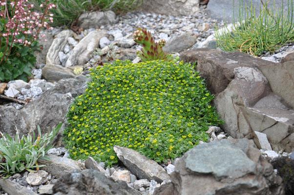 Azorella trifurcata  Nana
