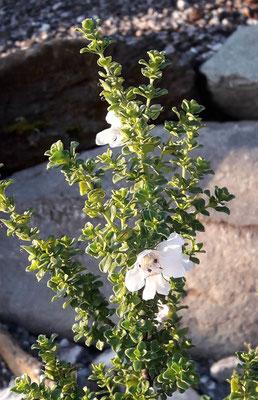 Australische Strauchminze - Prostanthera cuneata