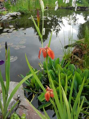 Iris vulfa
