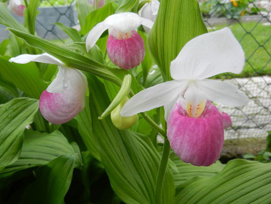 Cypripedium regine