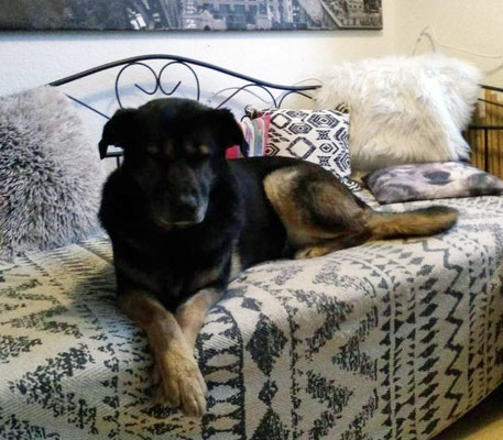Chaya-Chewy, um den neuen Namen besser zu lernen, auch Choochaya, auf dem Hundebett.