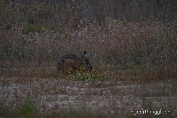 Feldhase, die Wildtiere erobern sich ihre Natur zurück.