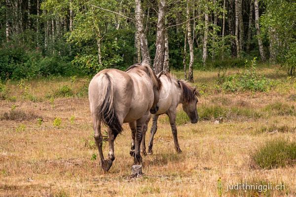 """gut zu erkennen, die """"Zebrastreifen"""", ein Hinweis zu Wildpferden"""