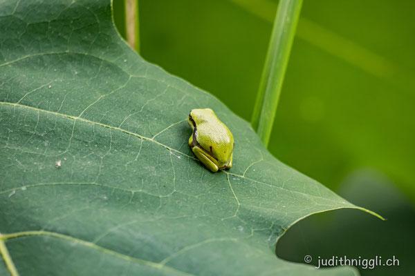 Der Laubfrosch ist die einzige heimische Froschart, die klettern kann